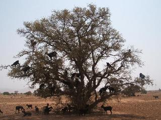 goats-in-a-tree-by-the.jpg